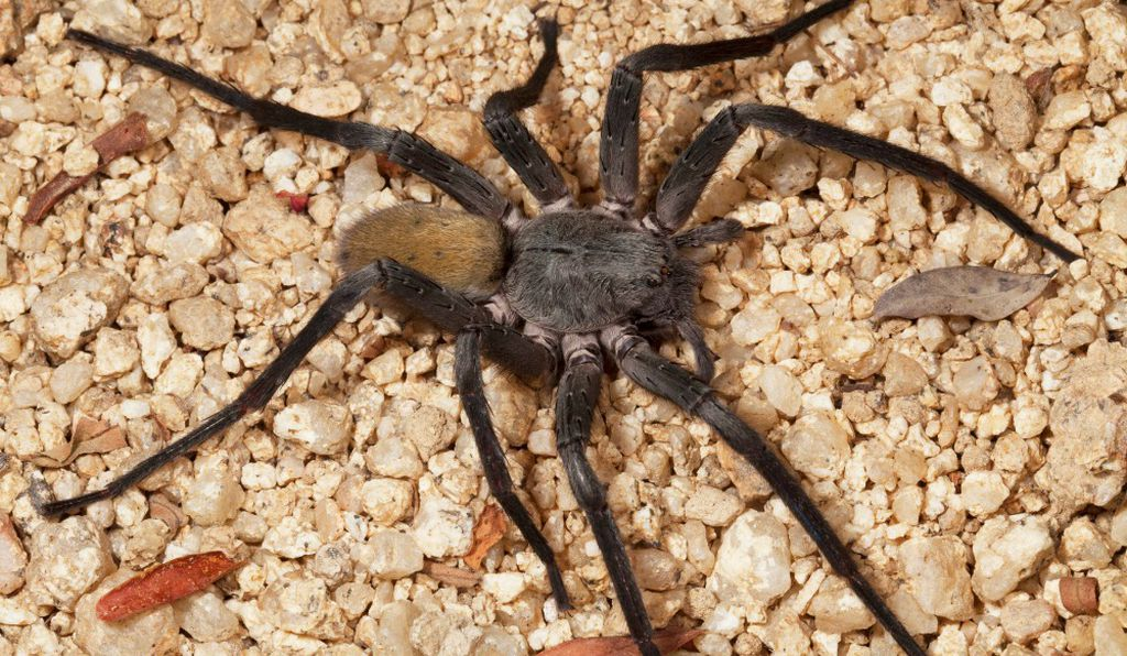 New cave spider from Mexico is as big as a softball