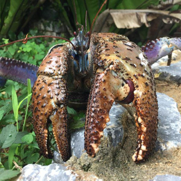 Coconut Crab's Pinch Among the Strongest in the World