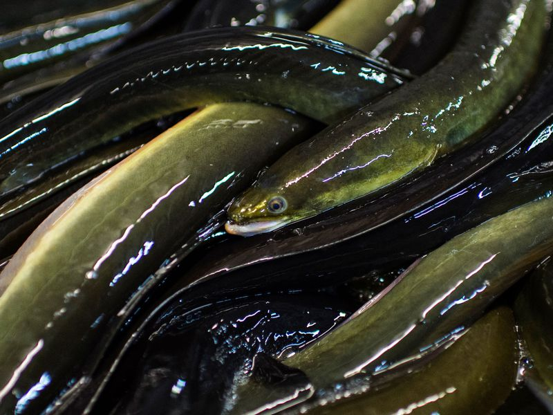The Epic Fight Over the Enigmatic Eel | Science | Smithsonian