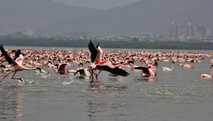 Why Did Flamingos Flock to Mumbai in Record Numbers This Winter?