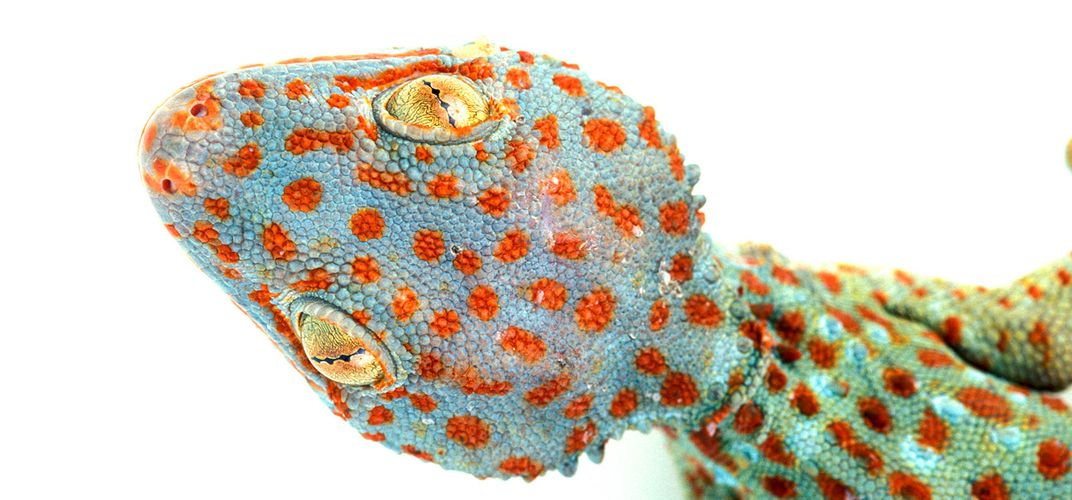 Caption: A Quarter of Reptile Species Are Sold Online