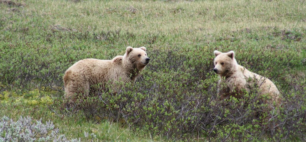 Young grizzlies in Denali National Park