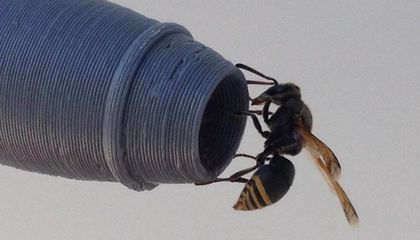 In Australia, Just One Wasp Can Ground an Airplane With a Strategically Placed Nest