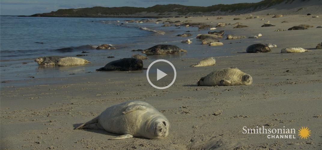 Caption: The Grey Seal Pupping Season in Scotland Is Spectacular