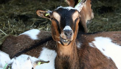 Goats May Prefer Happy Human Faces