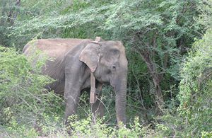 Smithsonian Scientists Find Elephant-poaching Crisis Emerging in Myanmar