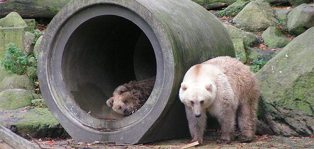 Polar bear-brown bear hybrids
