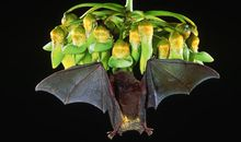 Bat feeding on flowers in flight