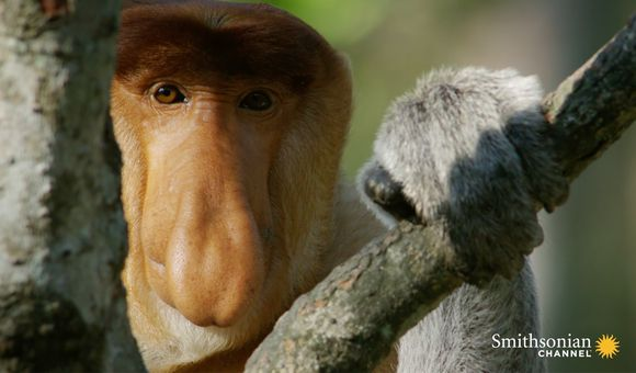 Preview thumbnail for video'Why Do These Monkeys Have Such Outrageous Noses?