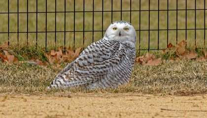 Snowy Owl Stops in Central Park for the First Time Since 1890