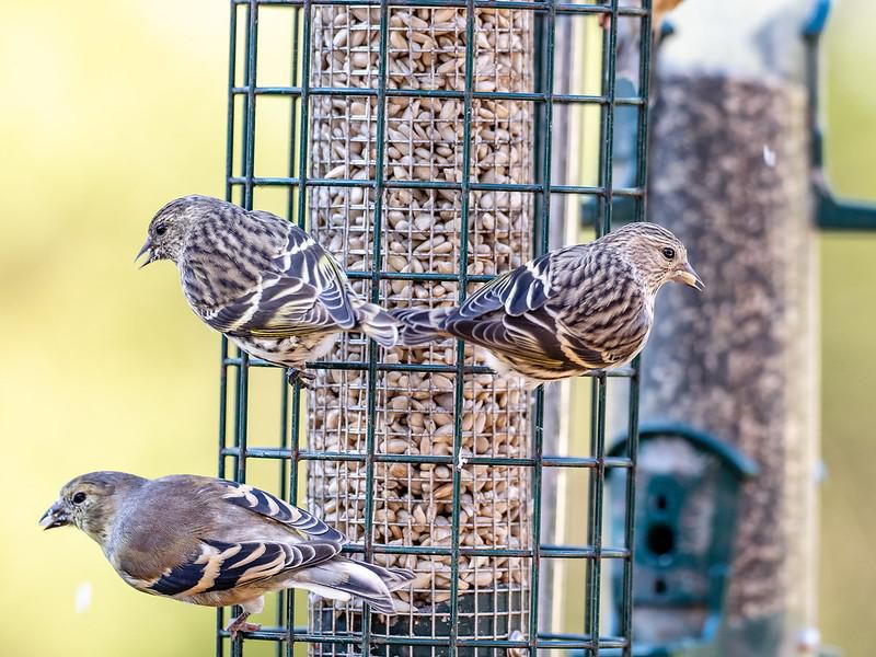 Three pine siskins sit on a green wire birdfeeder filled with seeds