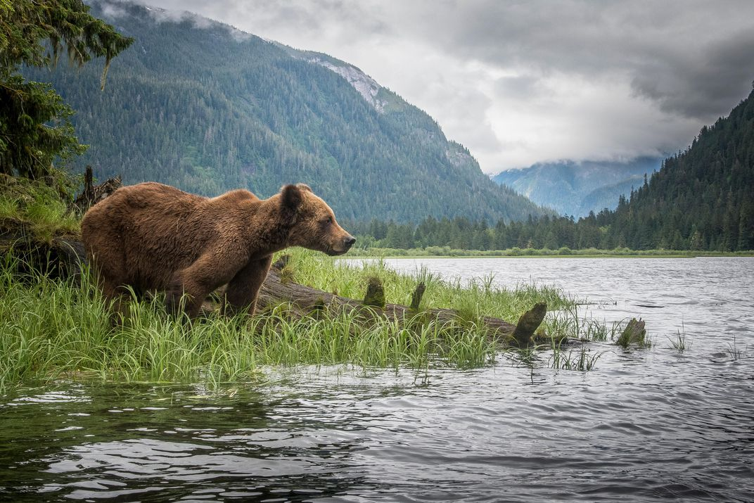 A Paradise for Grizzly Bears Gets an Up-Close Look   Science