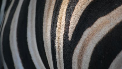 How the Zebra Got Its Stripes, According to Science