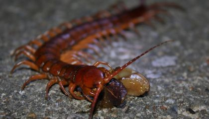 Centipede Venom Is a More Potent Pain Killer Than Morphine