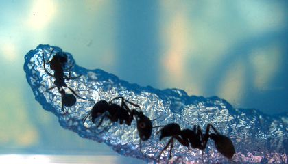 An Ant's Life is No Picnic