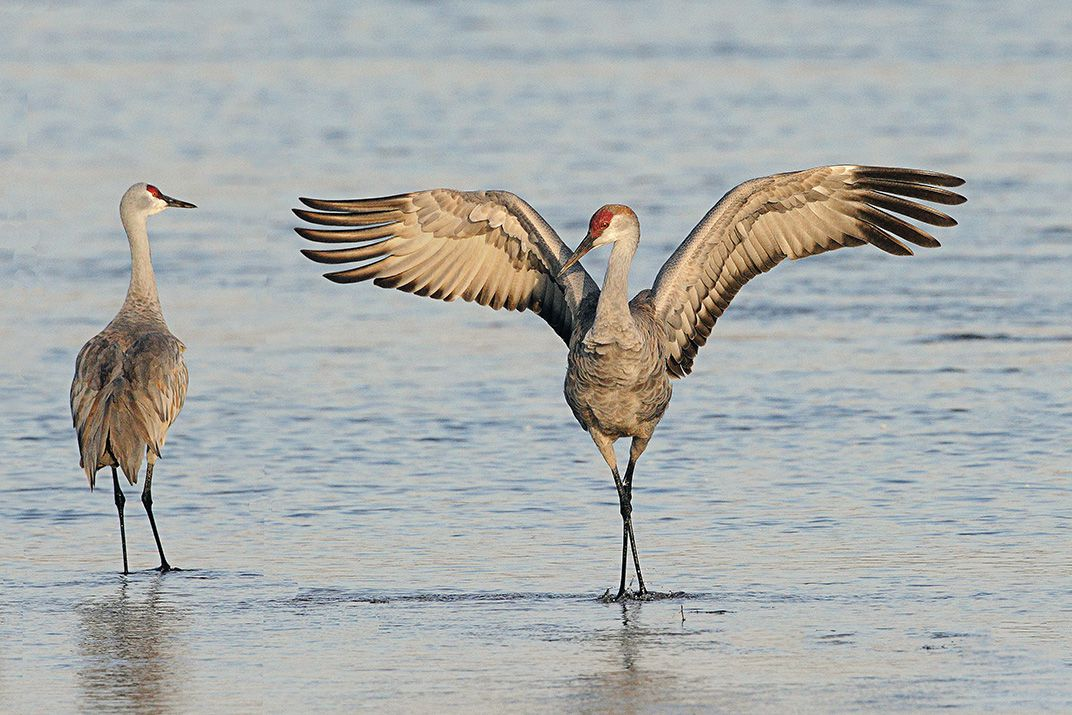 Drama In World Of Birds Sandhill Crane >> 500 000 Cranes Are Headed For Nebraska In One Of Earth S Greatest