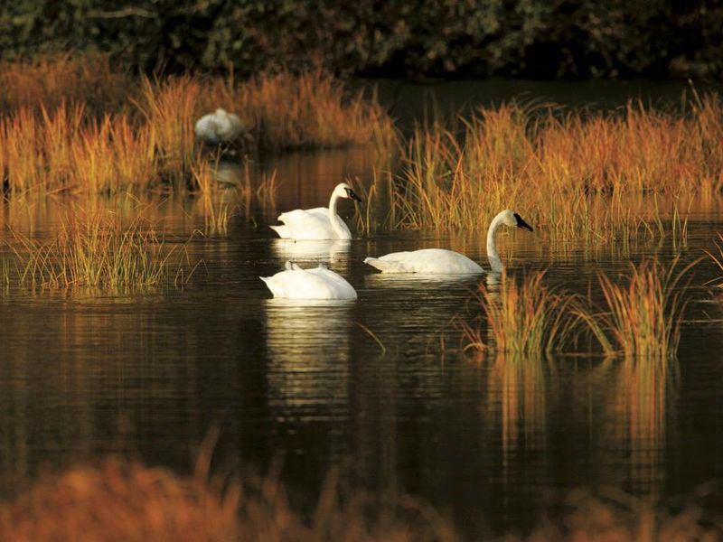 The Beaver and the Swans.jpg