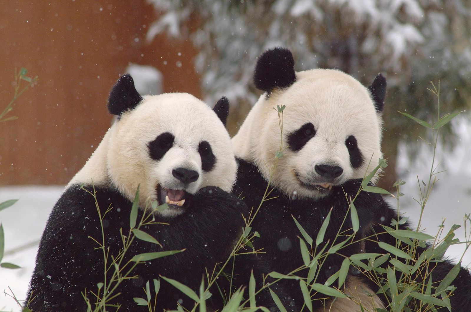 Smithsonian's Giant Pandas Will Continue to Cavort for Three More Years