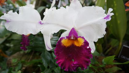 Orchidelirium, an Obsession with Orchids, Has Lasted for Centuries