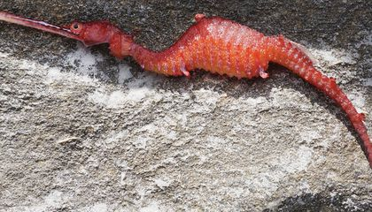 Watch the First Footage of the Rare Ruby Seadragon Alive in the Wild