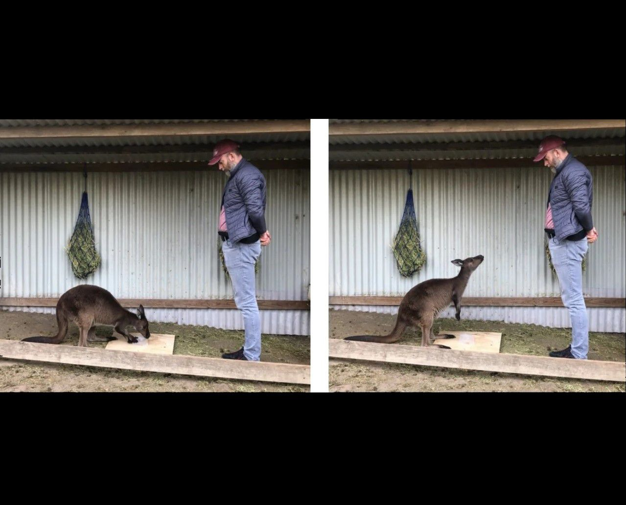 Kangaroos Communicate With Humans Like Dogs in Experiments