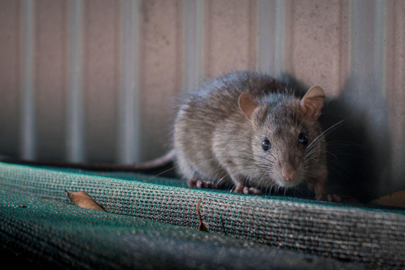 Are Rats Innocent Of Spreading The Black Plague Smart News Smithsonian Magazine