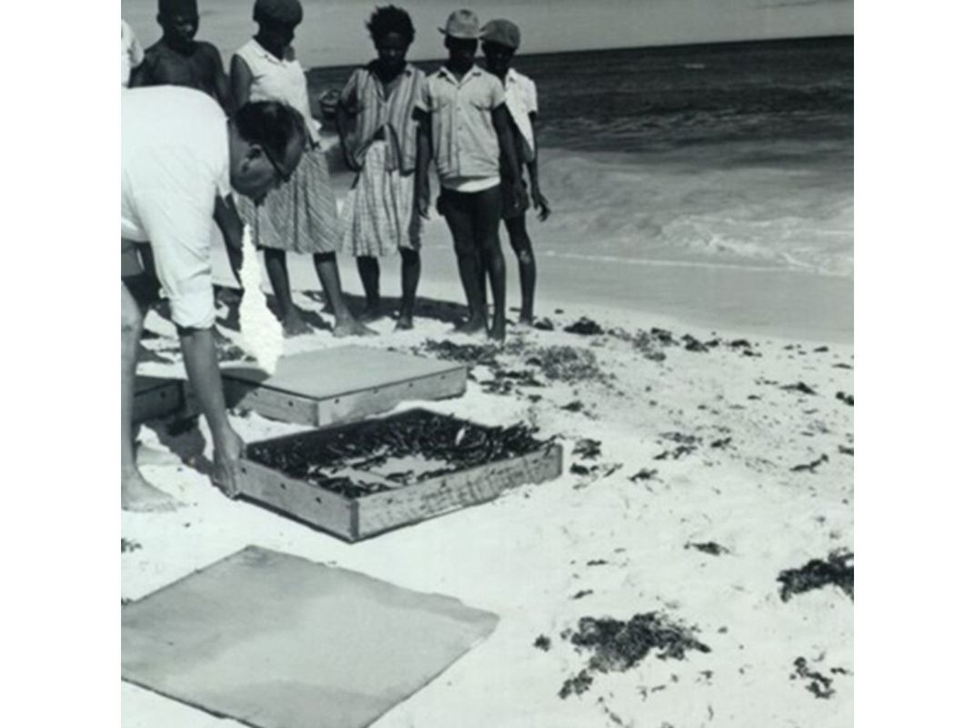 Hatchlings are released in Antigua