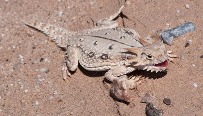 Even Desert Lizards Are Feeling the Heat Due to Climate Change