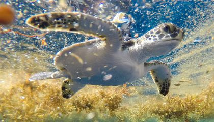 Baby Sea Turtles Spend 'Lost Years' in Sargasso Sea