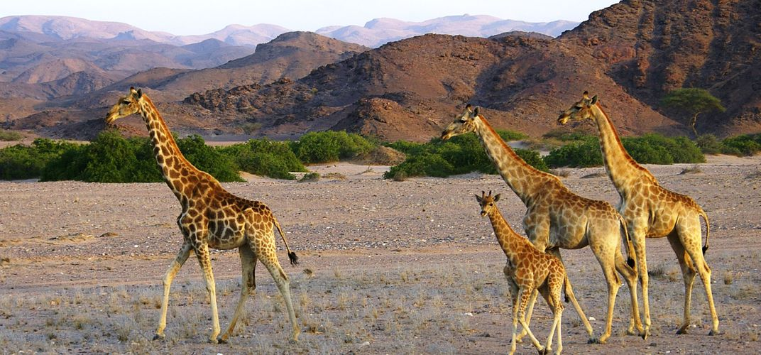 A tower of giraffes in the desert - Hoanib Skeleton Coast Camp