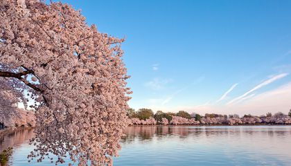 Peak Bloom for This Year's Cherry Blossoms May Be Earliest On Record