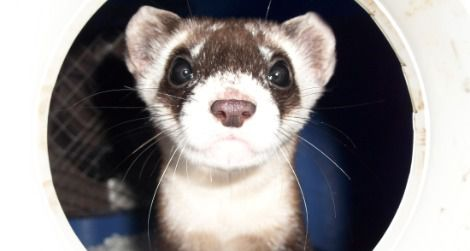20111104114004black-footed-ferret-small.jpg