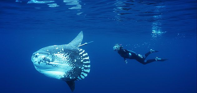 Unraveling The Mysteries Of The Ocean Sunfish Science Smithsonian