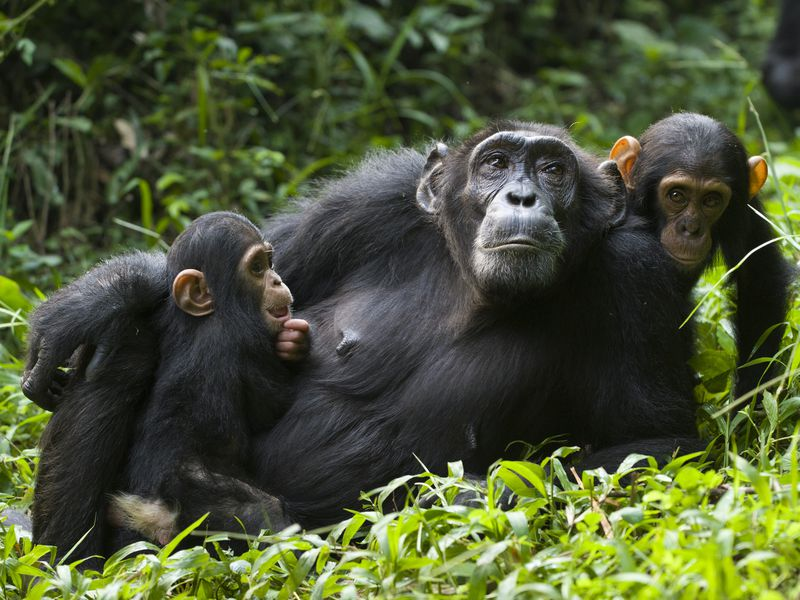 Chimp mom and babies