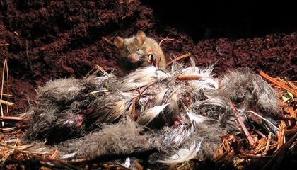 A Steady Diet of Seabird Chicks Makes Island Mice Huge