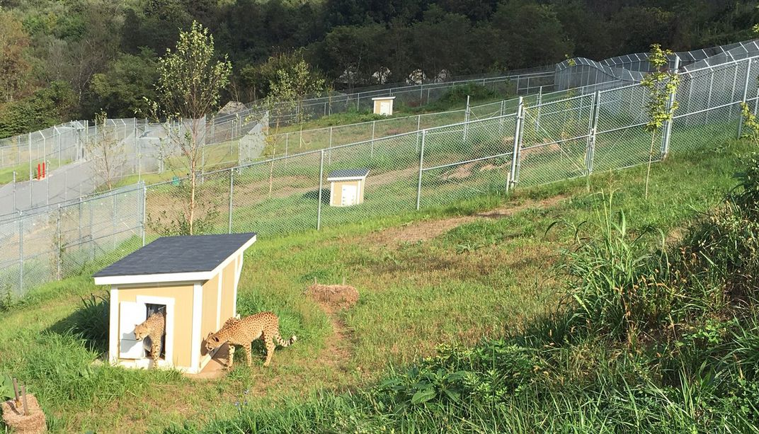 The cheetah facility at SCBI with large, grassy, fenced yards. Cheetahs lay in the grass, and one cheetah exits a small den in one of the yards.