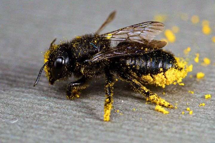 A black bee has pollen stuck to its legs and body
