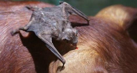 A vampire bat feeds on a pig