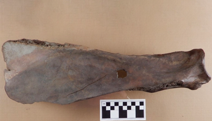 Centuries-Old Gardening Hoes Made of Bison Bone Found in Canada