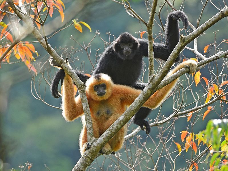 Two Hainan gibbons sit on a treebranch.