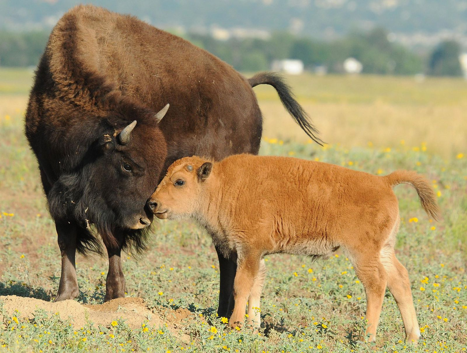 Baby Bison Euthanized After Tourists Try To Save It