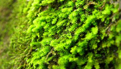 """Ancient, Doomed """"Iceman"""" Had Been Eating Mosses"""
