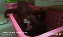 Preview thumbnail for video 'Infant Orangutans Get Ready for Their First Day of School