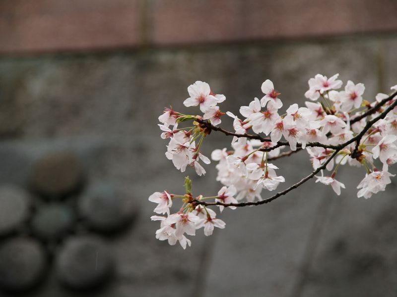 Why Are Japans Cherry Blossom Trees Blooming In Fall Smart News