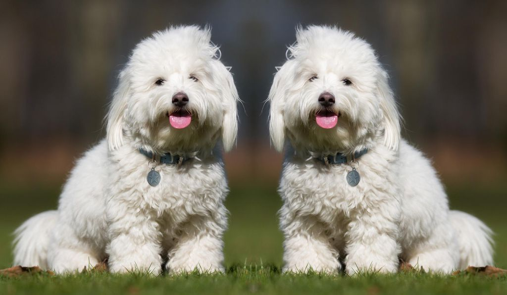 Streisand has said that she has had trouble finding a curly-haired Coton de Tulear like her dog Samantha, one of the reasons she decided to clone her deceased pet.