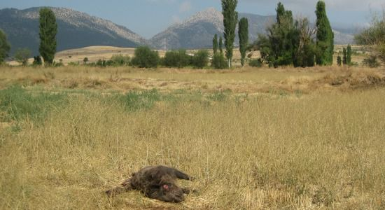 A wild pig, shot and wasted, lies in a field near Lake Burdur.