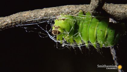 Timelapse Footage of a Giant Caterpillar Weaving Its Cocoon