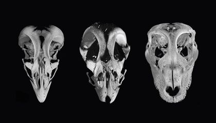 Researchers Create Chicken Embryos With Dinosaur-Like Faces