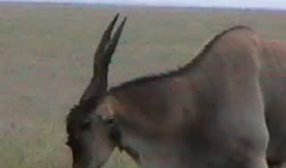 Preview thumbnail for video'The Click of the Wild Eland Antelope