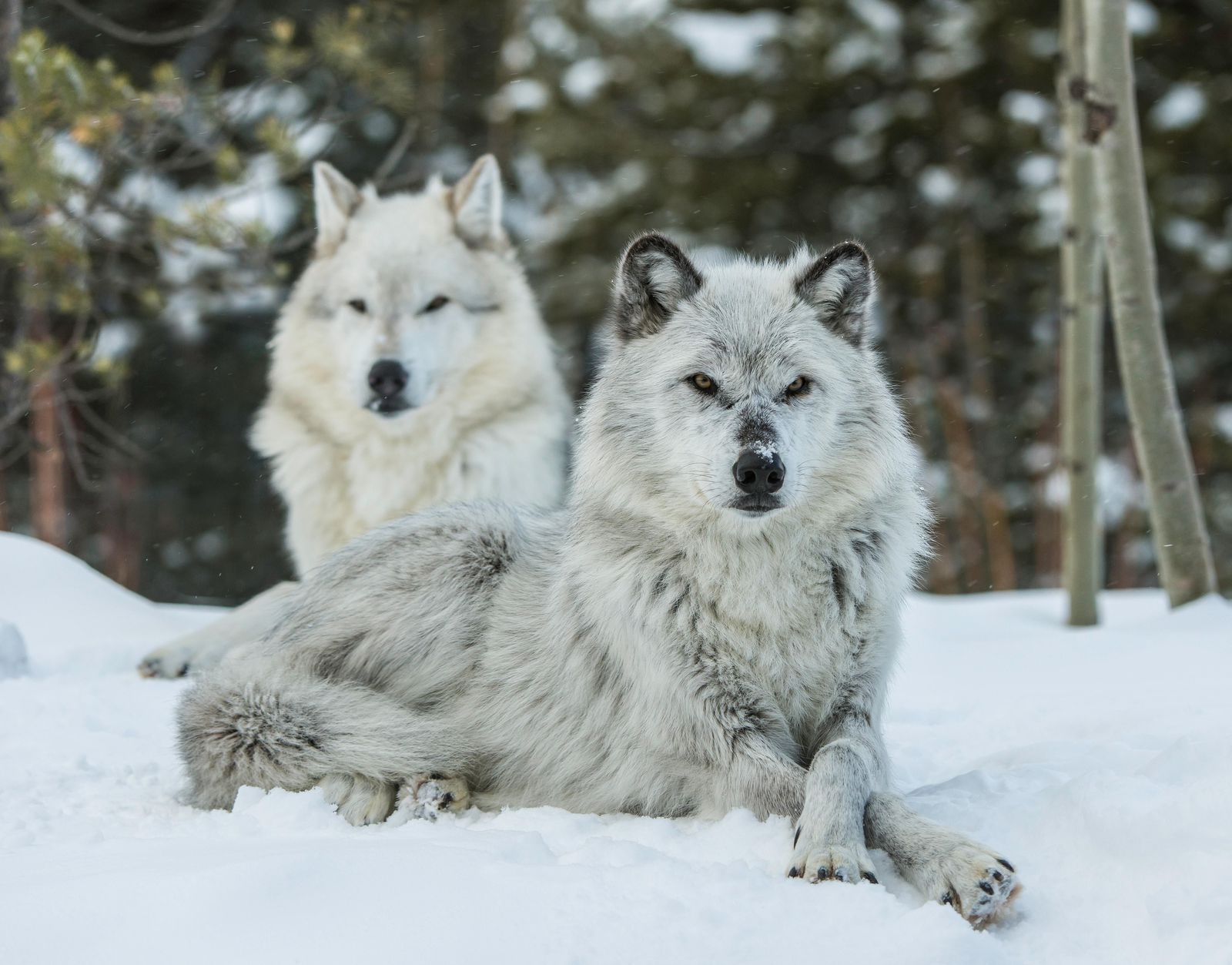 New Idaho Law Allows Killing of 90 Percent of State's Wolves